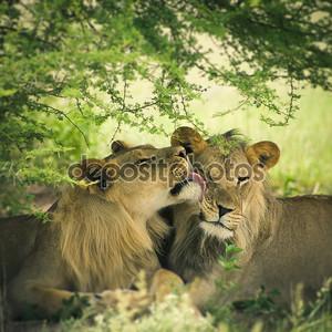 Любящая пара Лев и львица
