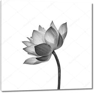 Цветок лотоса изолирован на белом фоне.