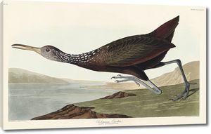 Scolopaceus Courlan