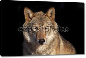 Eye to eye portrait with grey wolf female on black background.