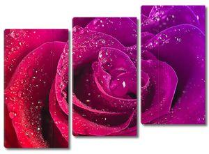 Красота розы