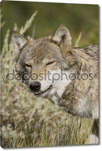 Взрослых женщин волк выходит из леса