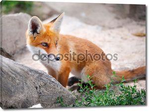 детеныш рыжой лисы