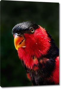 Красно-черный попугай