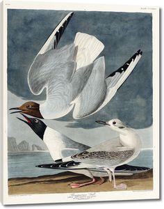 Бонапартовская чайка