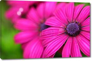 фиолетовый цветок закрывается