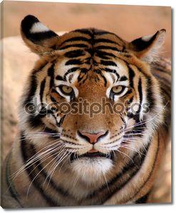 Тигр сталкиваются с рот слегка открыть
