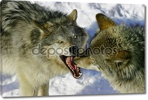 Борьба волков