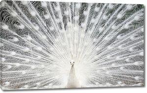 Хвост белого павлина