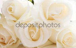 Белые бутоны роз