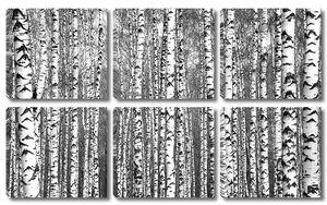 Весенние стволы березы черно-белые