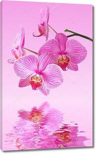 Розовая орхидея на розовом фоне