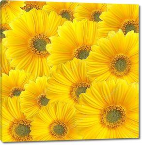 Желтые герберы фоном в ряд