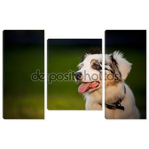 Мерл Австралийский Пастух Собака