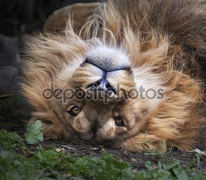лицо азиатского льва, лежа на спине. площади изображения. Царь зверей, большой кошкой в мире, глядя прямо в камеру. наиболее опасные и могучий хищник мира.