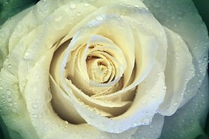 Красивый цветок розы с каплями воды