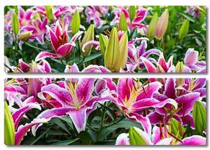 Полное цветение цветок лилии в саду