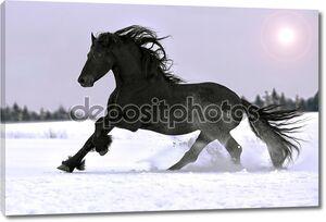 Фризская лошадь галопом в зимний период