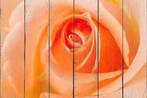 Макрос оранжевых роз