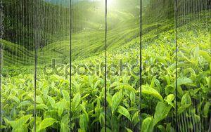 плантация чая Камерон-Хайлендз, Малайзия