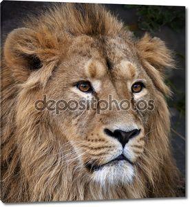 лицо портрет спокойным азиатского льва. Царь зверей, большой кошкой в мире. наиболее опасные и могучий хищник мира. красота дикой природы.