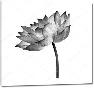 черный цветок лотоса изолирован на белом фоне