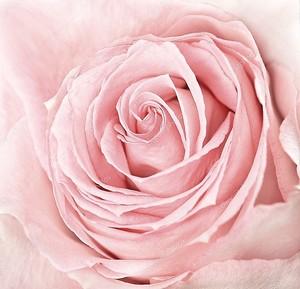Макро свежие розовая роза