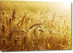 Пшеница в утреннем тумане