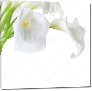 Белый Кала лилии