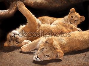 Три ленивые молодые львы