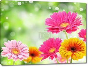 Разноцветные герберы цветы