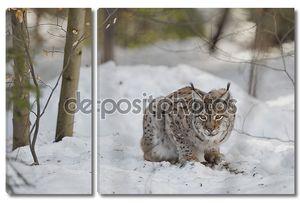 Изолированные рысь на фоне снега глядя на вас подозрительных