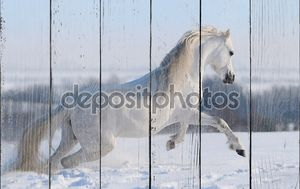 Серый валлийский пони