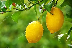 Желтый лимон, висит на дереве