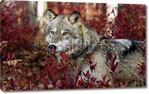 Серый волк в красных листьях