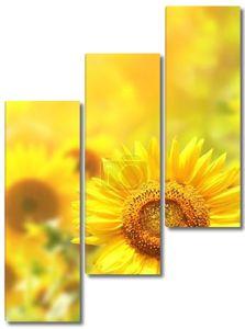 Яркие желтые подсолнухи