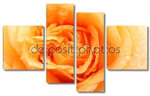 Красивая оранжевая роза в каплях росы