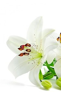 красивые белые лилии цветы, изолированные на белом