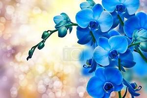 Голубые цветы орхидеи