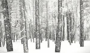 Сосновый лес в снегу
