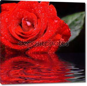 Красная роза с капельками воды