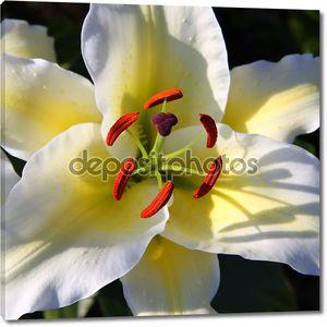 Белая Лилия цветок макро