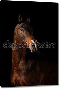 Залив лошади на черном фоне