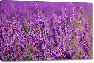 Красивые ароматные лавандовые поля