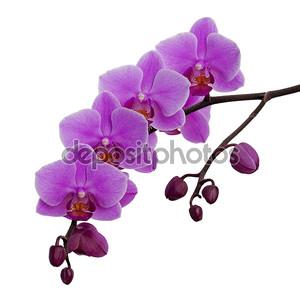 розовые цветки орхидеи, изолированные на белом