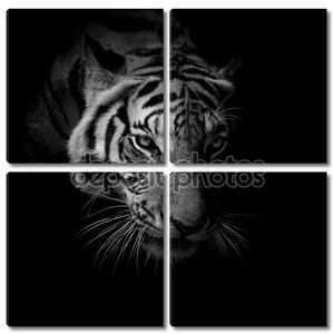 черный & белый крупным планом лицо тигра, изолированные на черном фоне