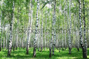 Весна березовый лес