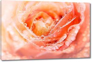 Роза с падение