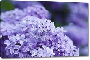 Весенние цветы сирени