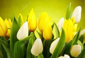 Желтые и белые тюльпаны